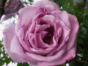 2015.6月の花